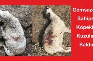 Gemlik Gemsazda Sahipsiz Köpekler Kuzulara Saldırdı