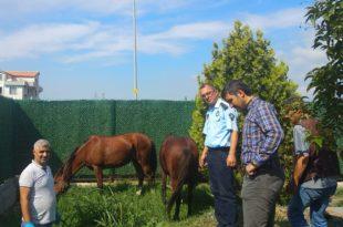 Sahipsiz atlar belediye korumasında
