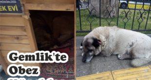 Gemlik'te Obez Köpekler