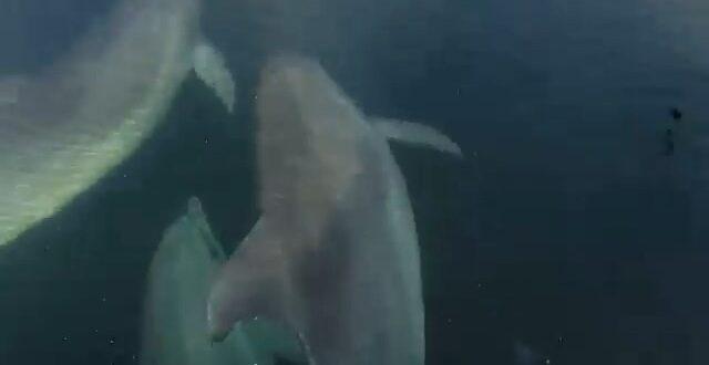 Gemlik'te yunus balıklarının balıkçı tekneleriyle olan yarışı kameralara yansıdı