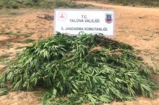 Armutlu'da Ormanlık alanda Hint keneviri yetiştiren şüpheli yakalandı