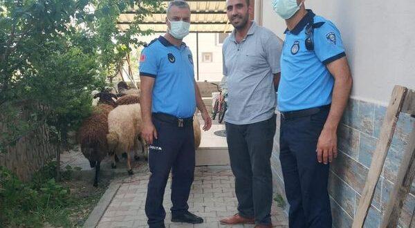 Koyunları kaybolan çiftçinin yardımına Gemlik Zabıtası koştu